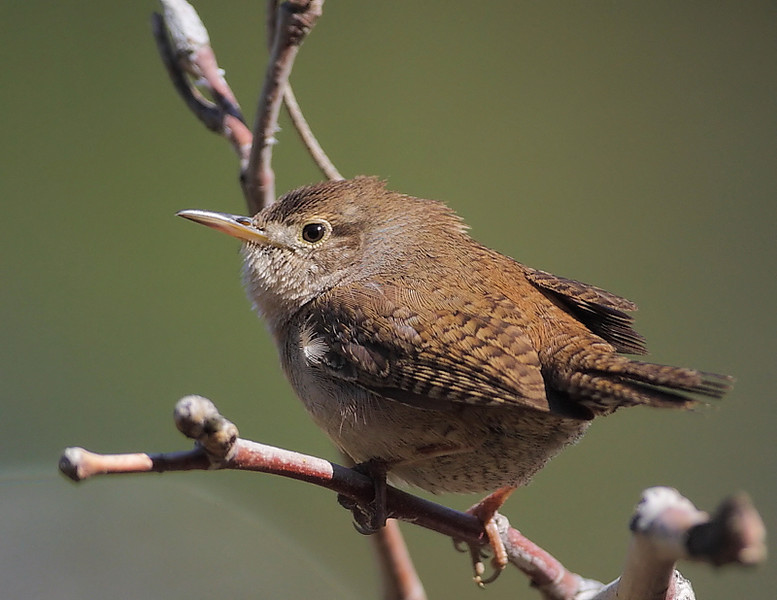 House Wren, Placerita Canyon, nr Newhall, CA, April 2009.