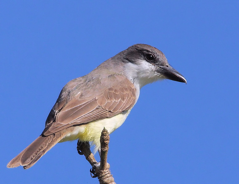 Another view of the rare Thick-billed Kingbird, South Coast Botanic Garden, Palos Verdes, CA, March 28 2009.