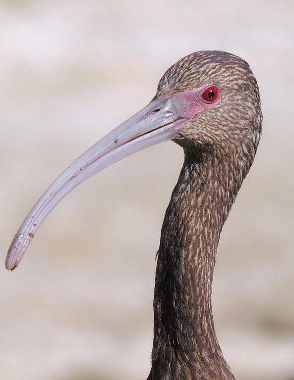 White-faced Ibis closeup, El Dorado Park, Long Beach, CA, February 13 2011.