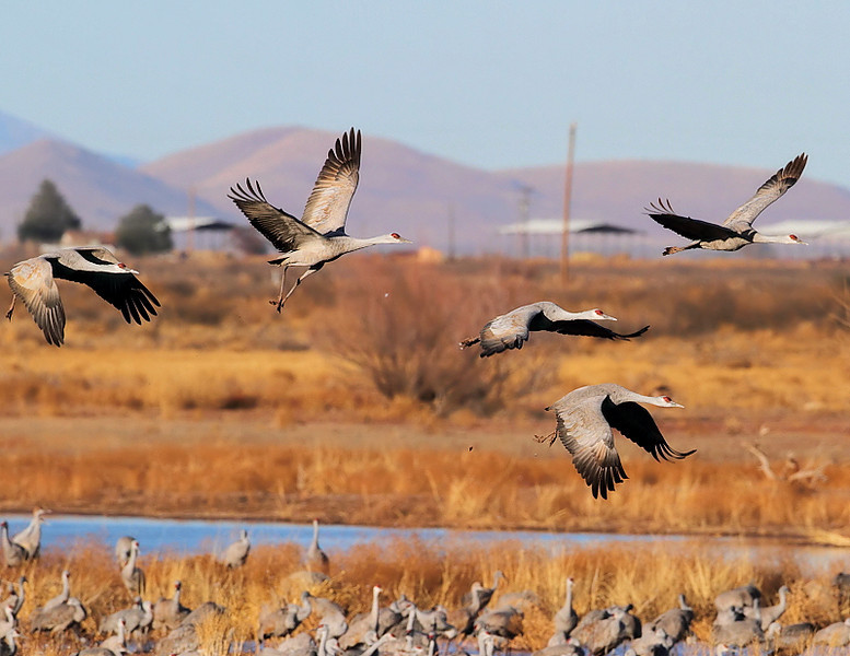 Sandhill Cranes at Whitewater Draw, January 27 2011.