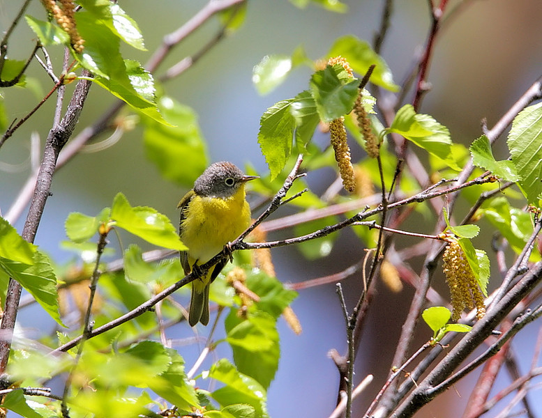 Nashville Warbler, nr Osoyoos on the Canadian-American border, May 2009.