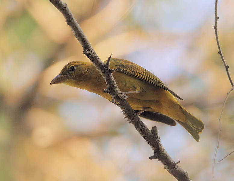 A rare-for-the-area female Summer Tanager, DeForest Park along the LA River, Long Beach, CA, January 17 2011.