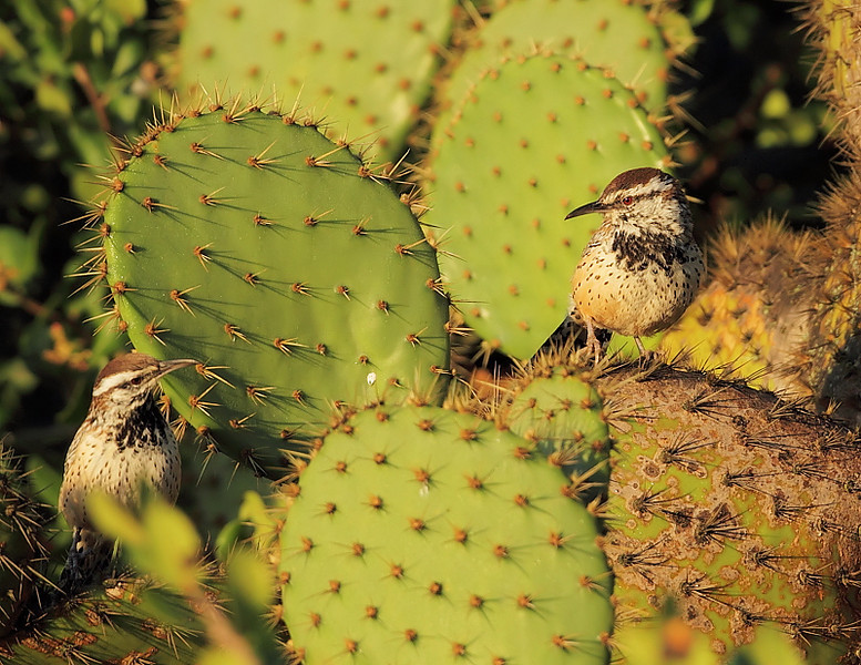 The Cactus Wren pair at Shoreline Park, Palos Verdes, CA, November 10 2010.