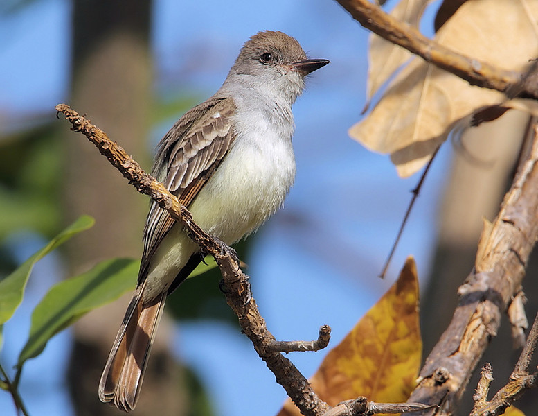 Ash-throated Flycatcher, South Coast Botanic Garden, Palos Verdes, CA, January 7 2012.