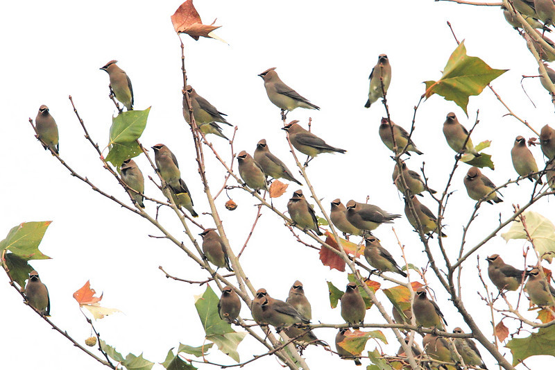 A whole mess o' Cedar Waxwings, Eastivew  Park, San Pedro,  December 26 during the Christmas Bird Count, 2010.