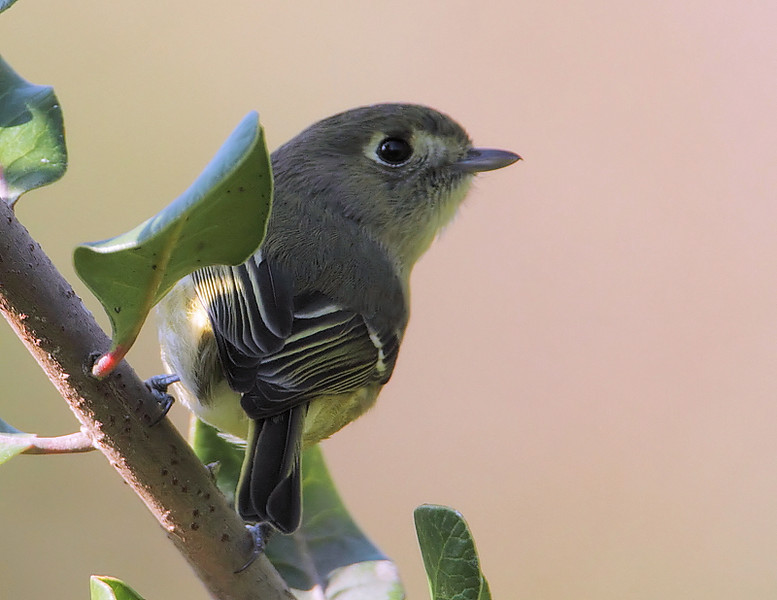 Hutton's Vireo, South Coast Botanic Garden, Palos Verdes, CA, January 7 2012.