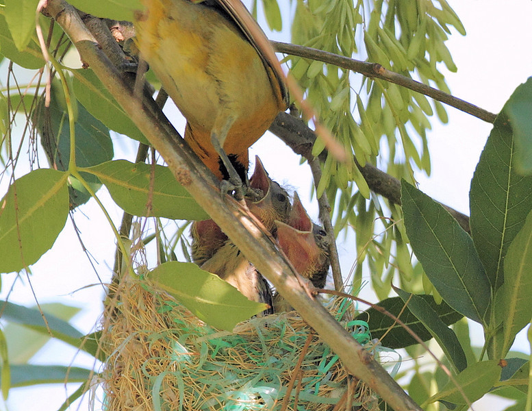 Bullock's Oriole feeding her 3 nestlings, Ken Malloy Regional Park, Harbor City, CA, June 12 2010.