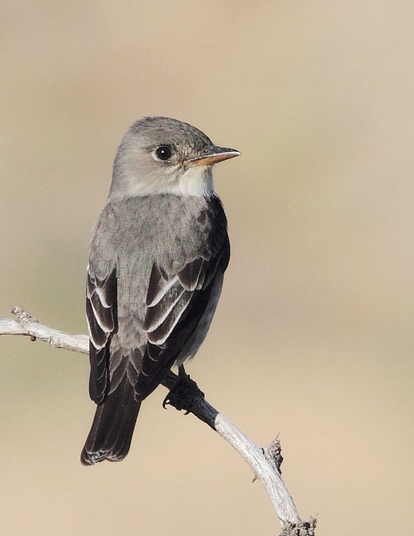 Flycatcher at Big Morongo Canyon Preserve, CA, April 30 2010.