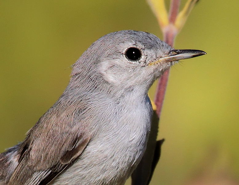 Closeup of the California Gnatcatcher, Forrestal Preserve, Palos Verdes Peninsula, May 29 2010.