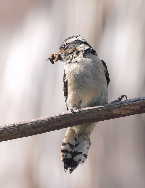 Female Downy Woodpecker with food to feed her 3 nestlings in a dead Century plant at the South Coast Botanic Garden, Palos Verdes, CA, May 30 2010.