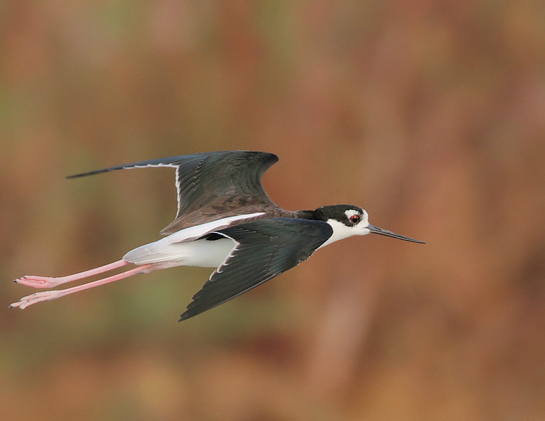Black-necked Stilt at the Salton Sea, Feb 24 2010.