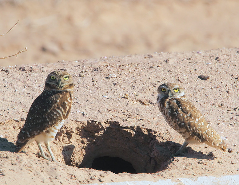 Burrowing Owls at the Salton Sea, Feb 26 2010.