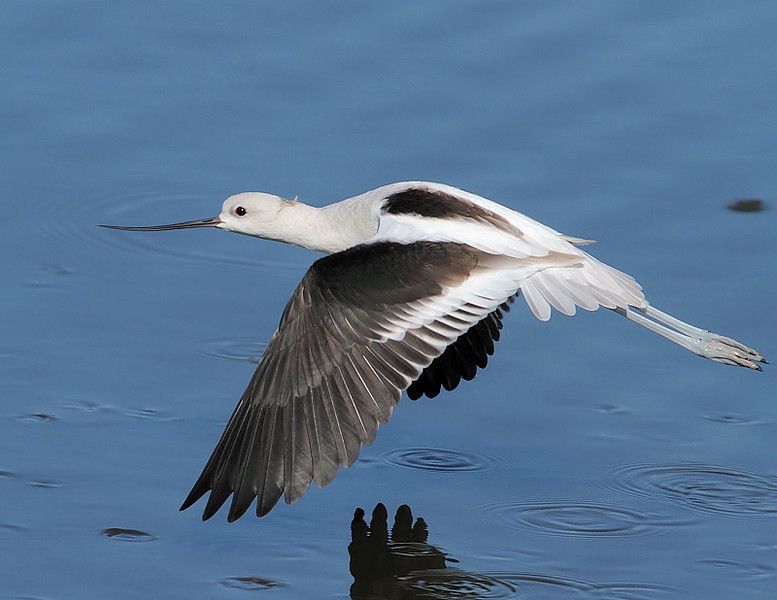 American Avocet, San Joaquin Wildlife Sanctuary, Irvine, CA, Oct 23 2009.