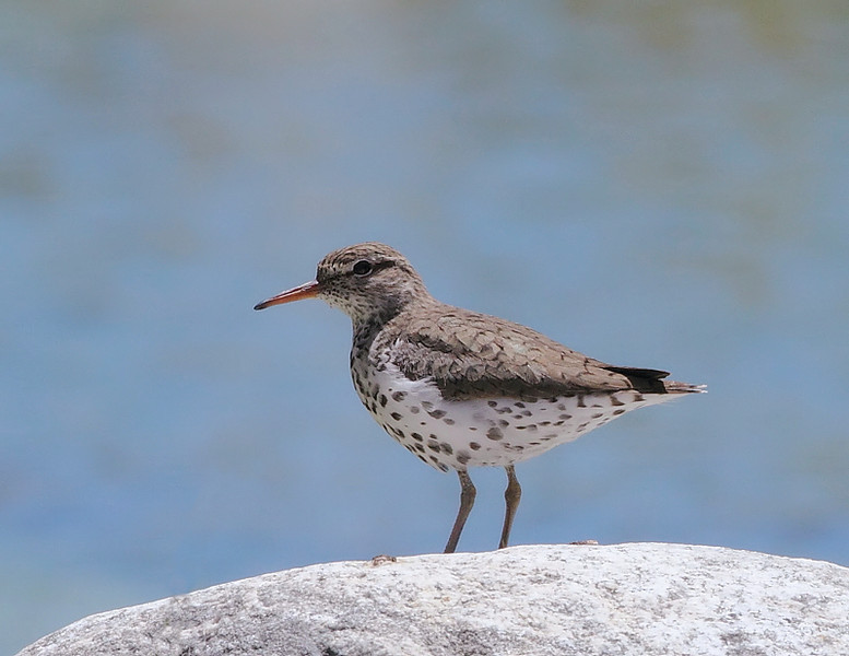 Spotted Sandpiper, Whitewater Preserve, nr Banning, CA, April 30 2010.