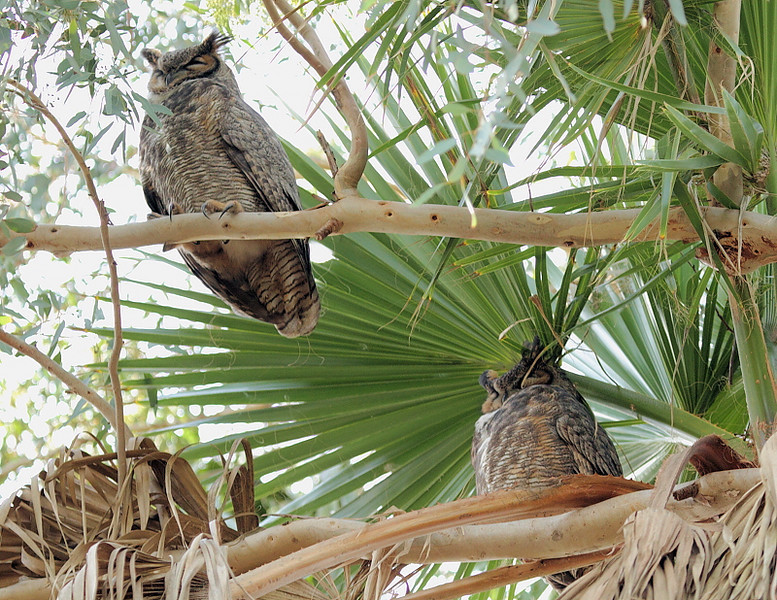 Mr and Mrs Great Horned Owl, Palos Verdes, CA, Jan 9 2010.