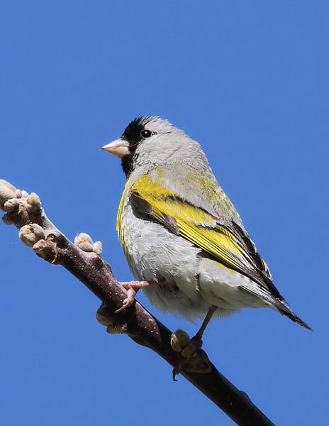 """Lawrence's Goldfinch, at """"Fisher Point"""" across from Covington Park, Morongo Valley, CA, April 30 2010."""