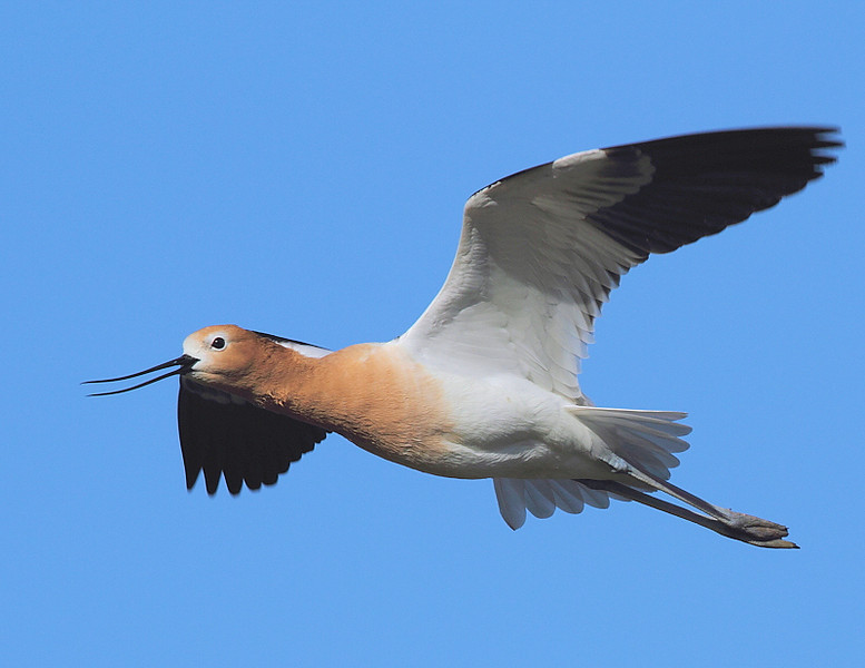 Male American Avocet, San Jacinto Wildlife Area, nr Riverside, CA, May 1 2010.