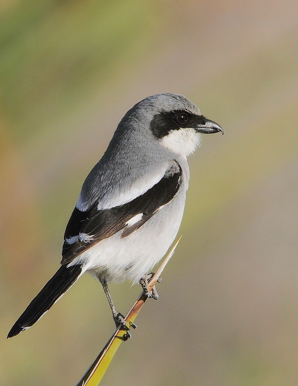 Loggerhead Shrike, nr Cottonwood Springs, Joshua Tree Nat'l Park, Feb 28 2010.