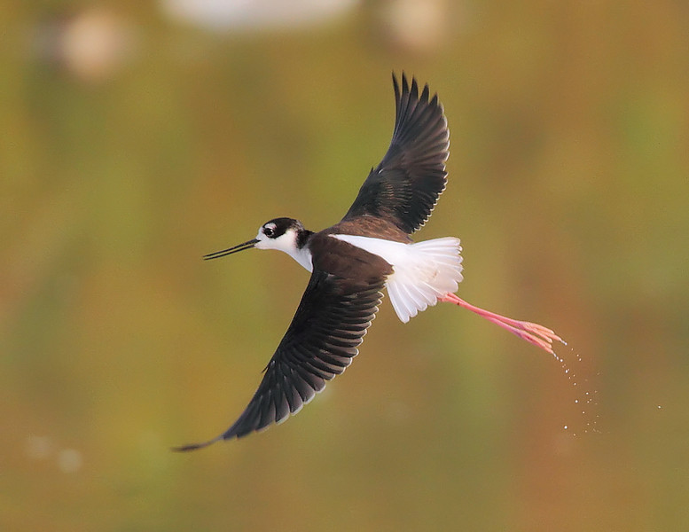 The grace of a Black-necked Stilt, Salton Sea, March 1 2010.