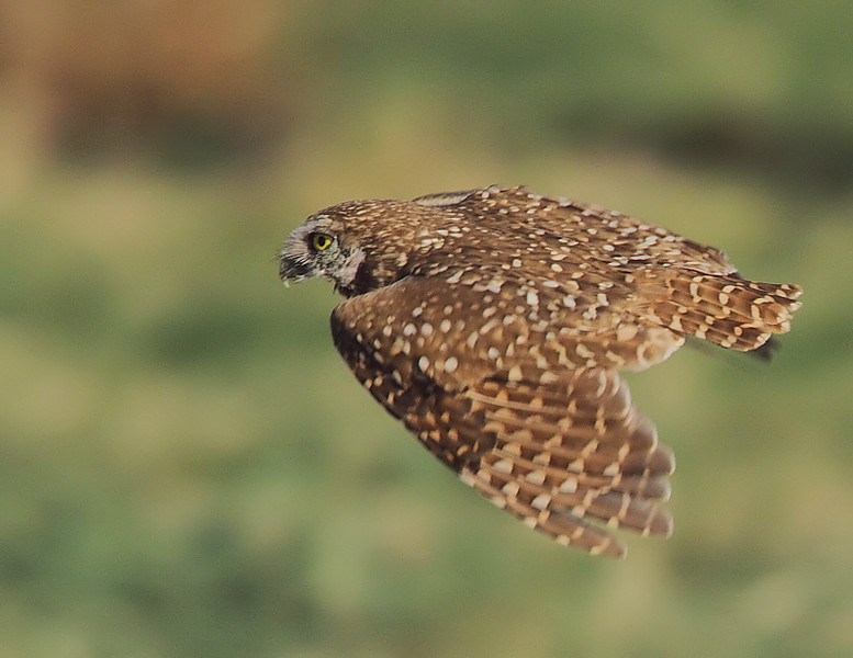 One of the Salton Sea Burrowing Owls in-flight.