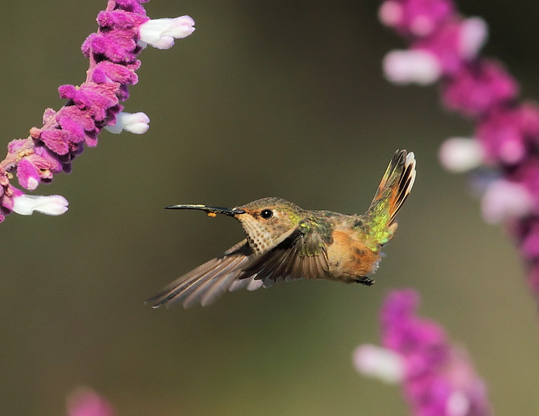 Female Allen's Hummingbird at the Mexican Bush Sage, South Coast Botanic Garden, Palos Verdes, CA, 2009.