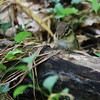 This chipmunk at the Cylburn Arboretum decided to watch me instead of run away like the others I saw.