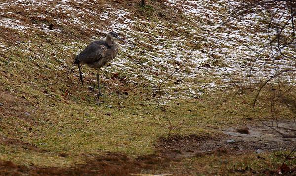 Great blue heron at Patapsco Valley State Park.  Tamron 70-300 VC lens on Canon XSi.