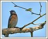 Western Bluebird, Irvine, Ca  Mar 2006