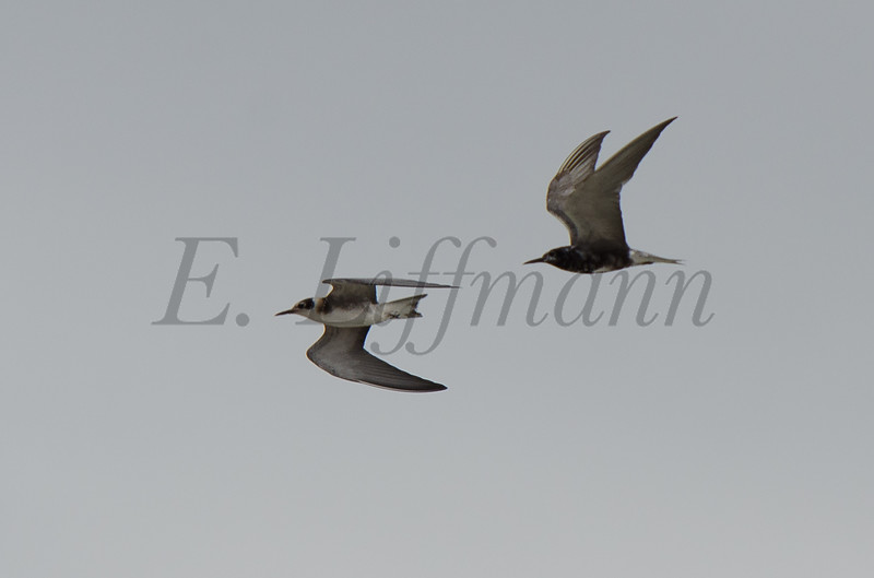 http://ericliffmann.smugmug.com/Other/Birds-in-Flight/i-9fWbb4m/0/L/DSC7766-L.jpg