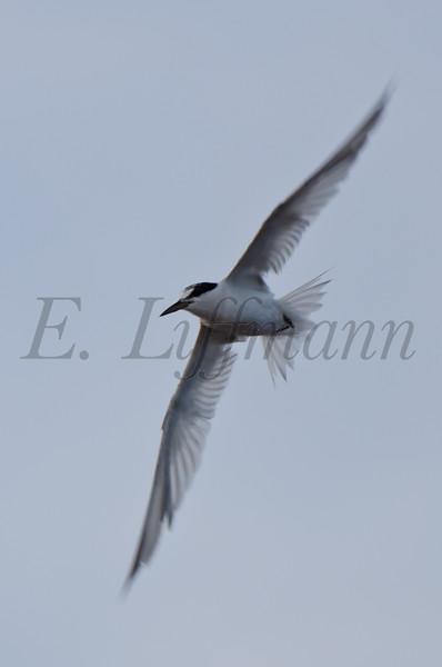 https://ericliffmann.smugmug.com/Other/Birds-in-Flight/i-FnGSWVm/0/L/DSC8439-L.jpg