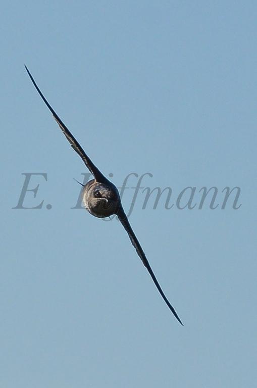 http://ericliffmann.smugmug.com/Other/Birds-in-Flight/i-SfF4nXR/0/XL/DSC_7479-XL.jpg