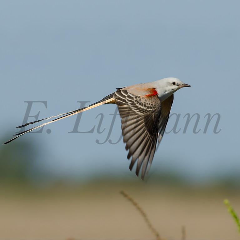 http://ericliffmann.smugmug.com/Other/Birds-in-Flight/i-VSPtv4T/0/XL/DSC2611-XL.jpg