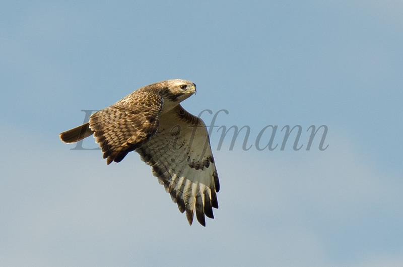 http://ericliffmann.smugmug.com/Other/Birds-in-Flight/i-Zf57dNH/0/L/DSC_1939-L.jpg