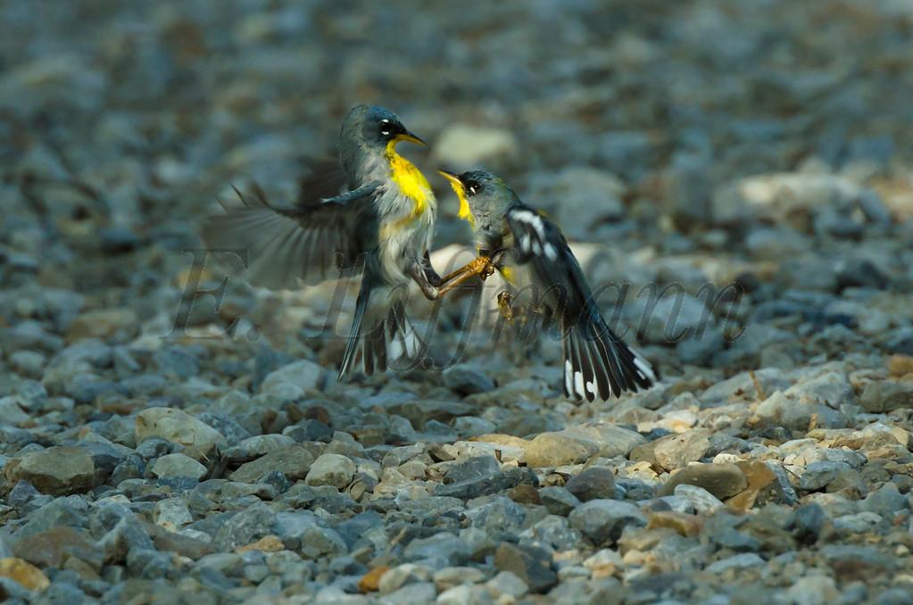 http://ericliffmann.smugmug.com/Other/Birds-in-Flight/i-kPfX95R/0/XL/DSC1319-XL.jpg
