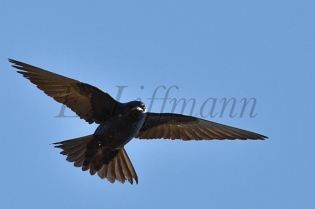 http://ericliffmann.smugmug.com/Other/Birds-in-Flight/i-pmPZKtC/0/XL/DSC_7574-XL.jpg