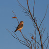 This is an American Kestrel, a member of the falcon family.  A very pretty bird.  Also found him in a city park about a mile from our house.