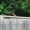 A cardinal on the fence.  He's got something in his mouth, might be a caterpiller.