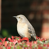 This Mockingbird was sitting on one of the bushes in our front yard.
