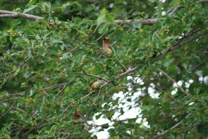 These are Cedar Waxwings, eating mulberries before they're ripe.