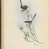 Graceful Wren (Malurus elegans)