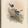 Turquoisine Warbler ( Malurus callainus)