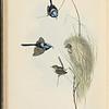 Blue wren (Malurus cyaneus)