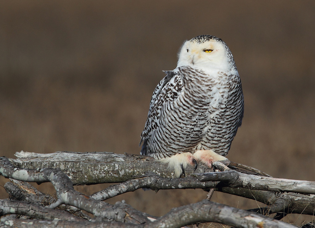 IMAGE: http://www.mikeswildlife.com/Other/Birds-of-Prey-1/i-3494qSh/0/XL/680-XL.jpg