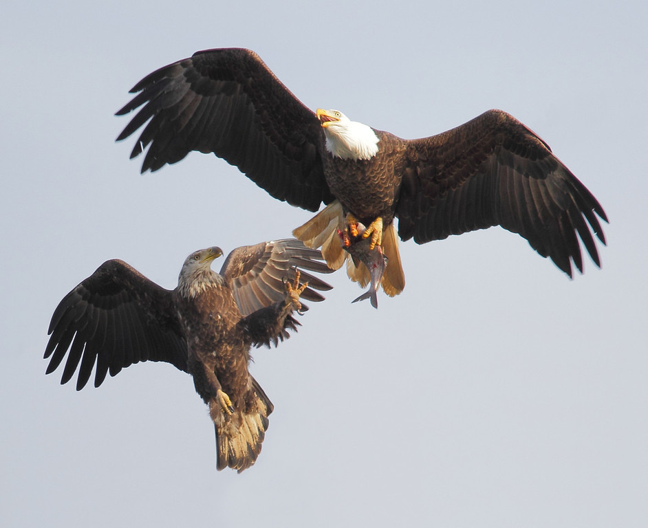 IMAGE: http://www.mikeswildlife.com/Other/Birds-of-Prey-1/i-42CbC5J/0/XL/376-4-XL.jpg