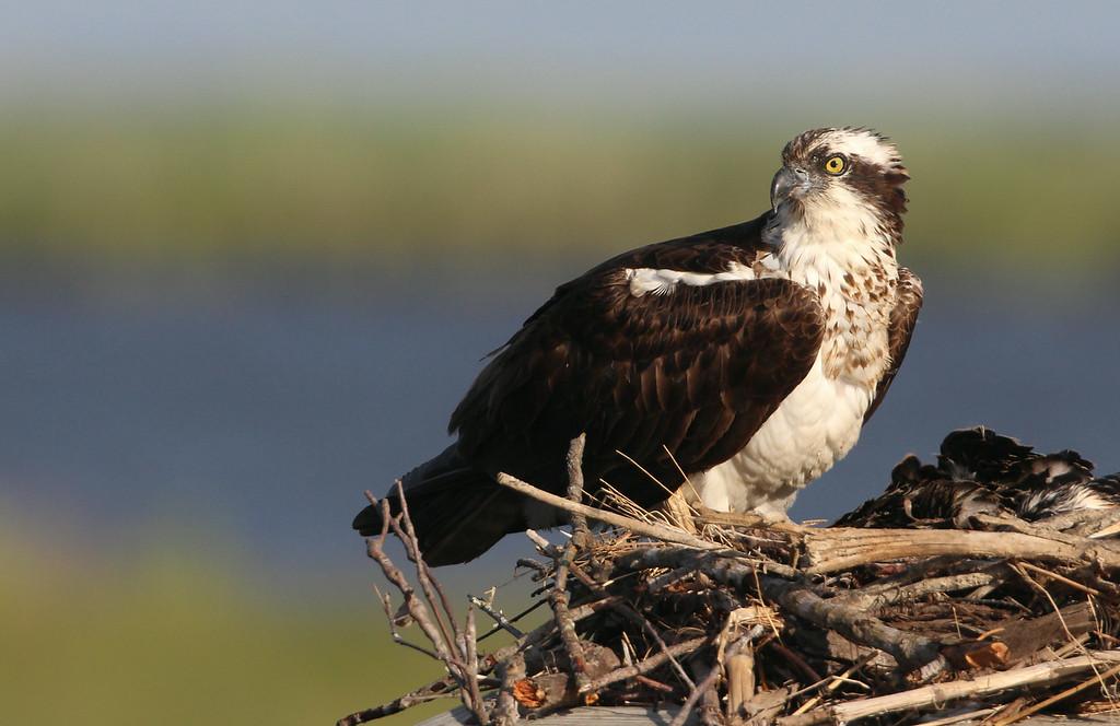 IMAGE: http://www.mikeswildlife.com/Other/Birds-of-Prey-1/i-4RwQLt9/0/XL/373-2-XL.jpg