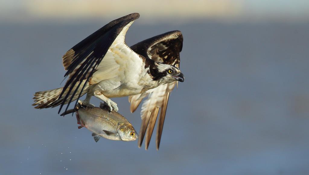 IMAGE: https://photos.smugmug.com/Other/Birds-of-Prey-1/i-4XQM67b/0/21f6c405/XL/BB8I4242-XL.jpg