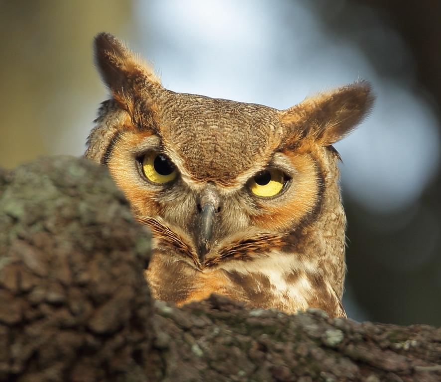 IMAGE: https://photos.smugmug.com/Other/Birds-of-Prey-1/i-5S42zD6/0/3d1e77d3/XL/469-XL.jpg