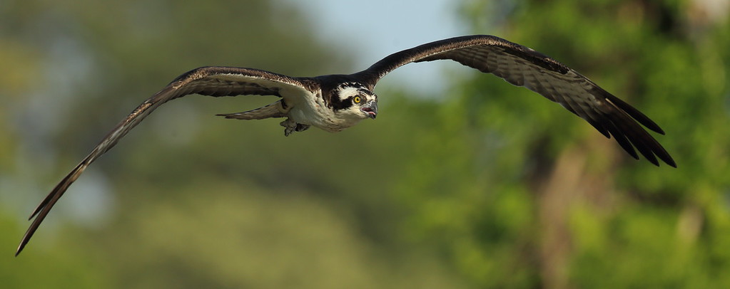 IMAGE: https://photos.smugmug.com/Other/Birds-of-Prey-1/i-8VCnkBq/0/fe926baf/XL/BB8I8892-XL.jpg