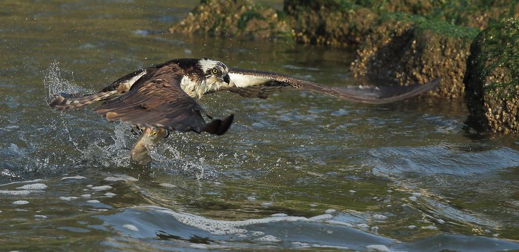 IMAGE: https://photos.smugmug.com/Other/Birds-of-Prey-1/i-8k9kqph/0/43ea4fd1/XL/BB8I1478-XL.jpg