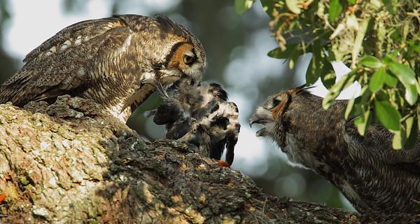 Great Horned Owl food exchange